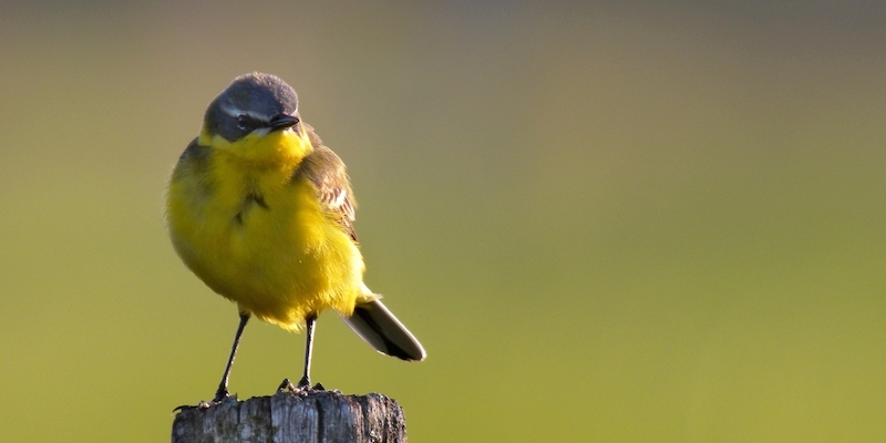 schafstelze wiesenvogel in gelb und gr n vogel natur. Black Bedroom Furniture Sets. Home Design Ideas