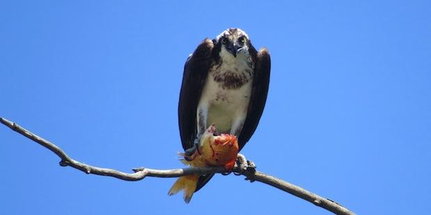Fischadler – Der Profi-Angler unter den Vögeln