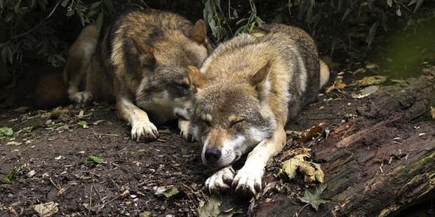 Wölfe und Luchse in Deutschland