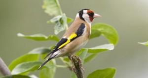 Der Stieglitz – Vogel des Jahres 2016