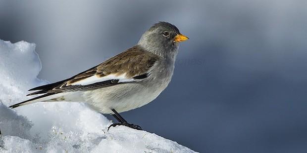 Schneesperling – Gebirgsvogel in Schwarz und Weiß