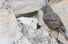 Alpenbraunelle – Sperlingsvogel der Berge