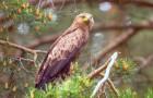 Schreiadler – bodenständiger Greifvogel