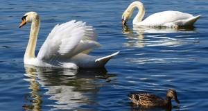 Vogelbeobachtung an Stadtgewässern