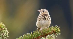 Deutsche Brutvögel weiter in Gefahr
