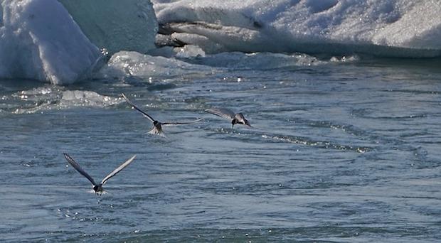 Vogelwelt in Spitzbergen