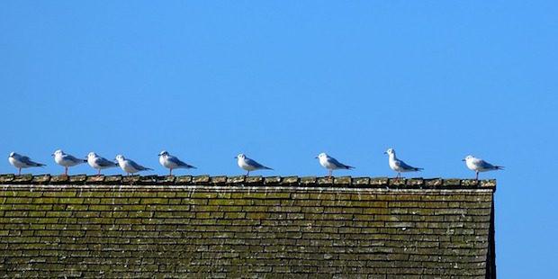 Nester hoch hinaus – Dachbruten in Deutschland