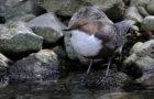 Wasseramsel – tauchender Singvogel