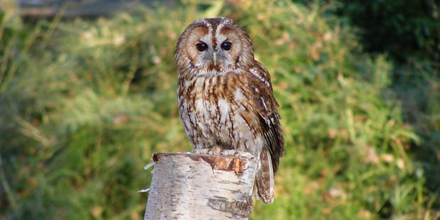 Waldkauz – Der Vogel des Jahres 2017