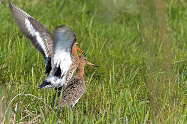 Uferschnepfen bei der Paarung
