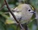 Wintergoldhähnchen – tapferer Winzling
