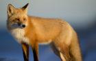 Füchse in Deutschland –Rot bepelzte Untermieter