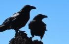 Tipps zur Bestimmung: Krähenvögel in Deutschland