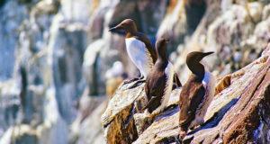 Trottellumme – Meeresvogel mit Hightech-Ei