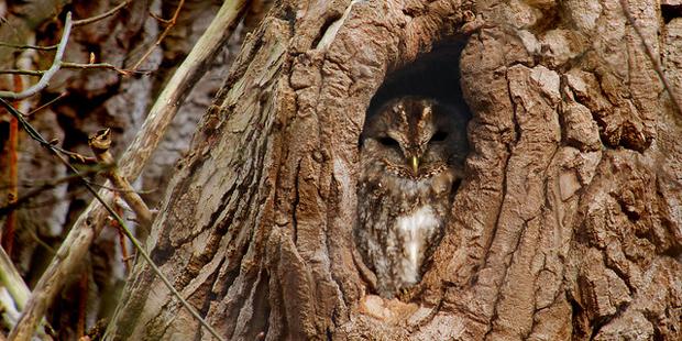 Waldkauz in Baum