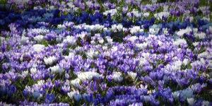 Von Krokus bis Kranich –<br/> Die Boten des Frühlings