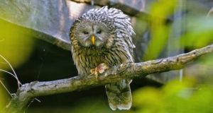 Habichtskauz – Herzgesicht im Wald