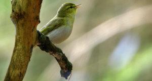 Waldlaubsänger – Stimmwunder der Baumkronen