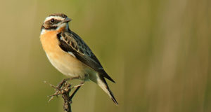 Erschreckende Bilanz – Die neue Rote Liste der Brutvögel