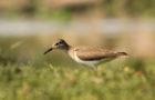 Flussuferläufer – Fürsorglicher Watvogel