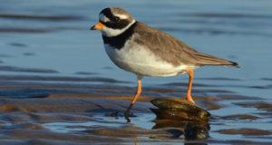 Sandregenpfeifer – Flinker Küstenvogel