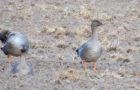 Saatgans – Treuer Familienvogel
