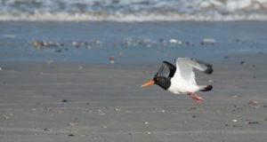 Bestandsrückgang des Austernfischers – Gründe und Lösungen