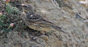 Strandpieper – Hüter der Felsküsten