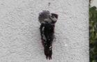 Spechtschäden – Wenn Klopfer Ärger machen