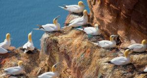 Im Schutz der Kolonie – Klippenbrüter
