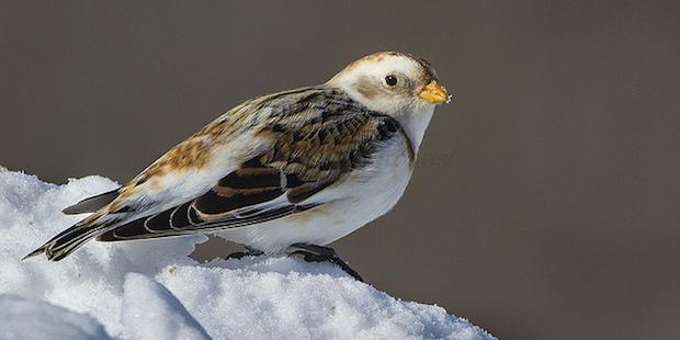 Schneeammer – Kleine Kältekoryphäe