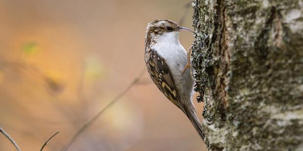 Waldbaumläufer – In Spiralen zum Erfolg