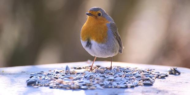 Vogelfotografie – Übungen mit Gartenvögeln