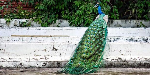 Blauer Pfau – Exotische Zierde