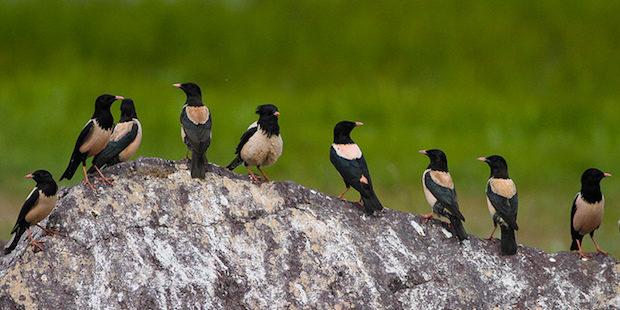 Rosenstar – Wüstenvogel mit Federschopf