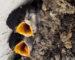 Mehlschwalbe und Mauersegler – Gebäudebrüter in Gefahr