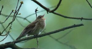 Schlagschwirl – Vogel mit Heuschreckensound