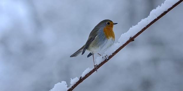Federbälle im Schnee –<br/> So überleben Vögel den Winter