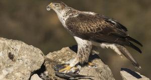 Habichtsadler – Superheld unter den Greifvögeln