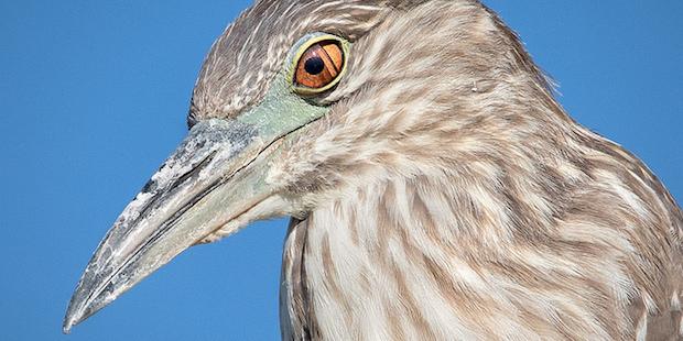 Die Nickhaut – Scheibenwischer für Vögel
