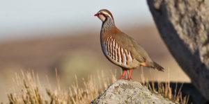 Steinhuhn – Vogel oder Felsen?