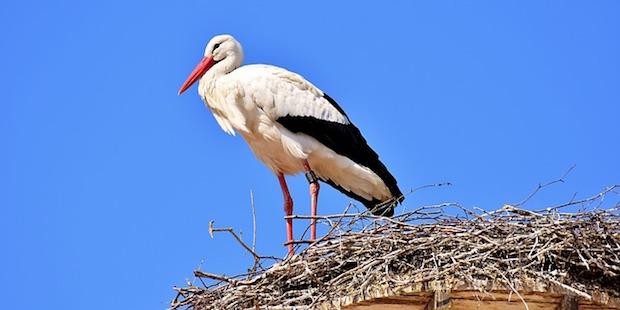 Mythos auf langen Beinen: Der Weißstorch