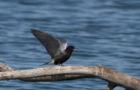 Trauerseeschwalbe – Anspruchsvolle Luftakrobatin
