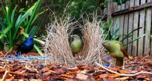Die Liebesburgen der Laubenvögel
