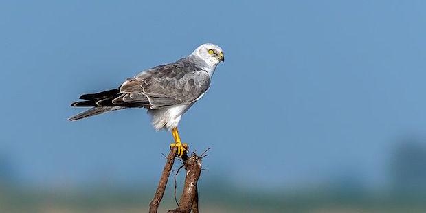 Steppenweihe – Greifvogel des Ostens