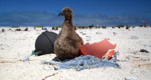 Plastik: Die Henkersmahlzeit der Seevögel