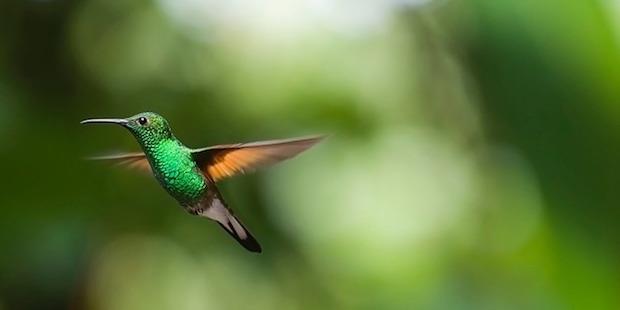 Kolibris – Schillernde Überlebenskünstler