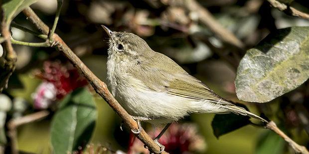 Grünlaubsänger – Brutvogel mit Aufwärtstrend