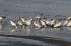 Sanderlinge – Zwischen Arktis und Sandstrand