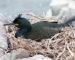 Krähenscharbe – Koloniebrüter mit Federkrönchen